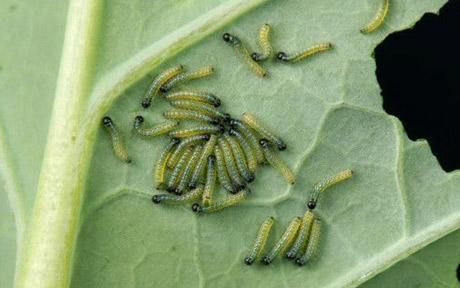 cabbage-caterpillars